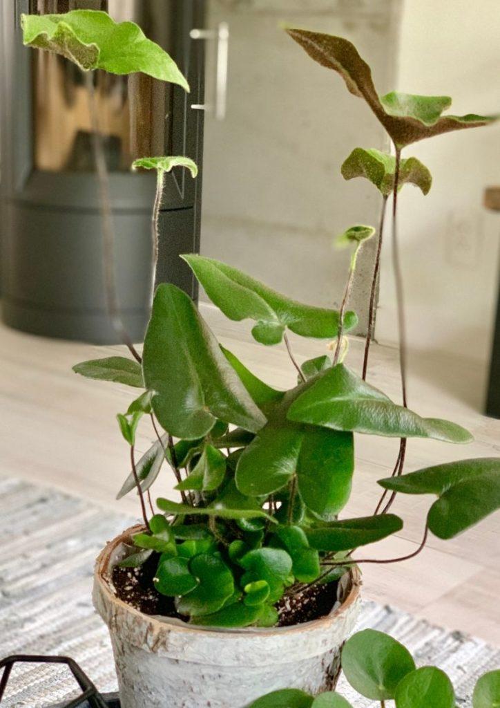Hemionitis Arifolia - HartjesvarenKamerplant