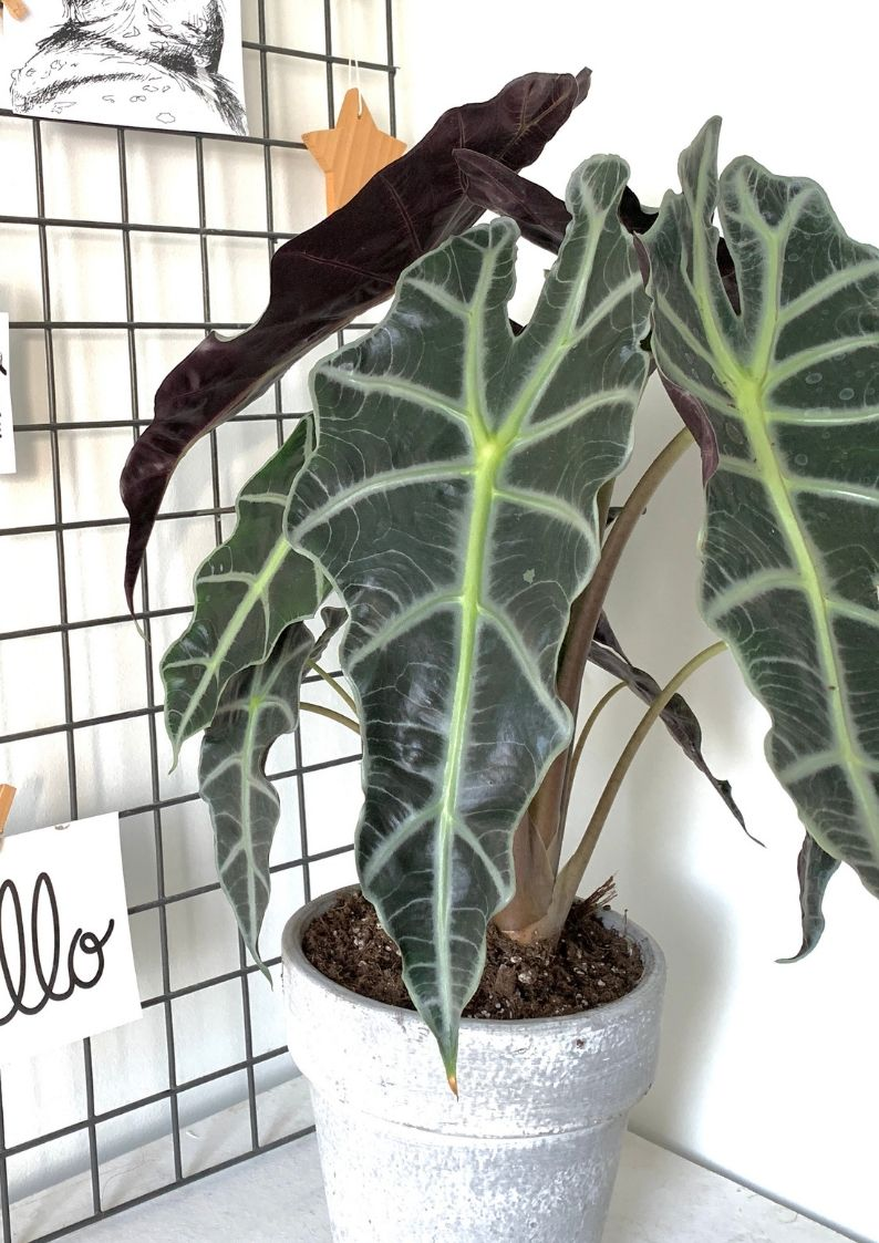 Kamerplant Alocasia Polly - Skeletplant